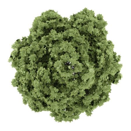 흰색 배경에 고립 된 일반적인 단풍 나무의 평면도