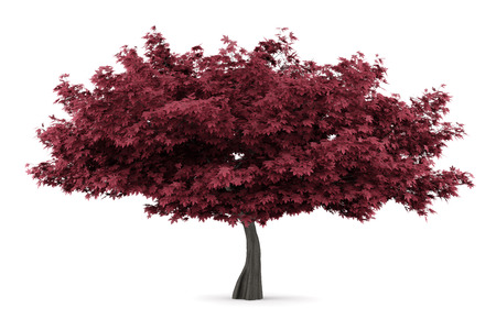 acer: red maple tree isolated on white background Stock Photo