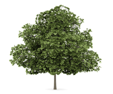acer: common maple tree isolated on white background Stock Photo