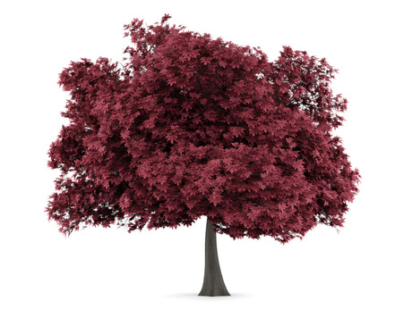 red maple tree isolated on white background photo