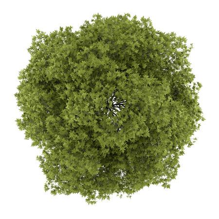 Draufsicht einer weißen Asche-Baum isoliert auf weißem Hintergrund