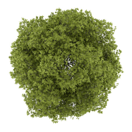 arbre vue dessus: vue de dessus de blanc fr�ne isol� sur fond blanc