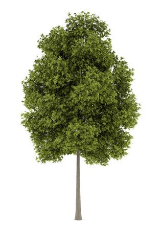 ash tree: frassino bianco isolato su sfondo bianco Archivio Fotografico