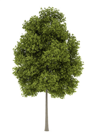 ashes: white ash tree isolated on white background