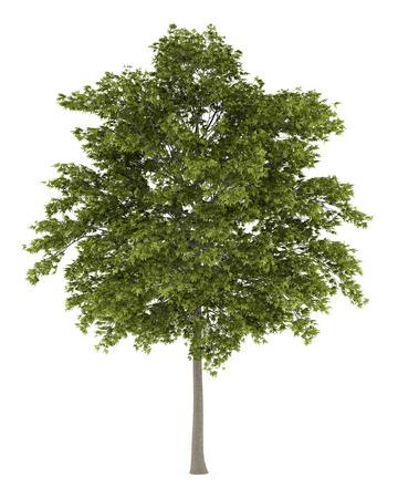 white ash tree isolated on white background