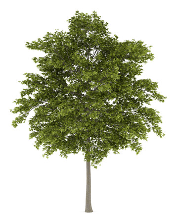 white ash tree isolated on white background