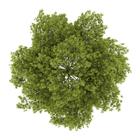 top view of white ash tree isolated on white background photo