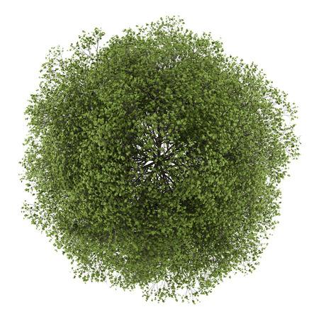 groene boom: bovenaanzicht van kleinbladige linde geïsoleerd op witte achtergrond Stockfoto