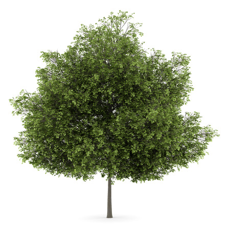 tilia cordata: small-leaved lime tree isolated on white background Stock Photo