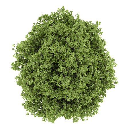top view of small-leaved lime tree isolated on white background photo