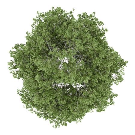 arbre vue dessus: vue de dessus d'arbre de bouleau argent� isol� sur fond blanc