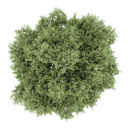 흰색 배경에 고립 된 실버 자작 나무 트리의 상위 뷰
