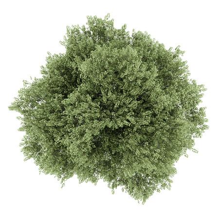 betula pendula: vista dall'alto di betulla d'argento isolato su sfondo bianco