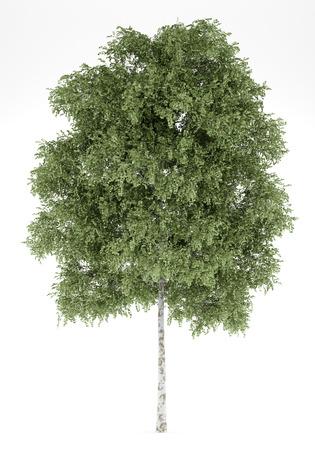 arbre de bouleau argenté isolé sur fond blanc