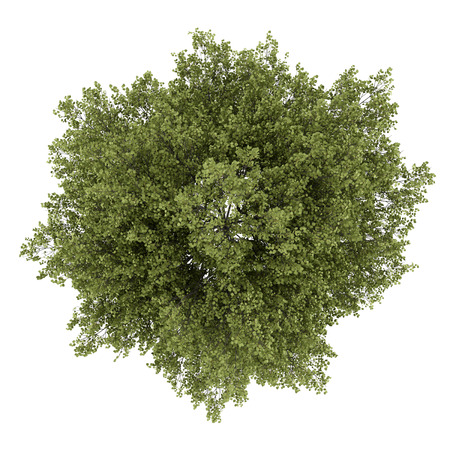 top view of poplar tree isolated on white background