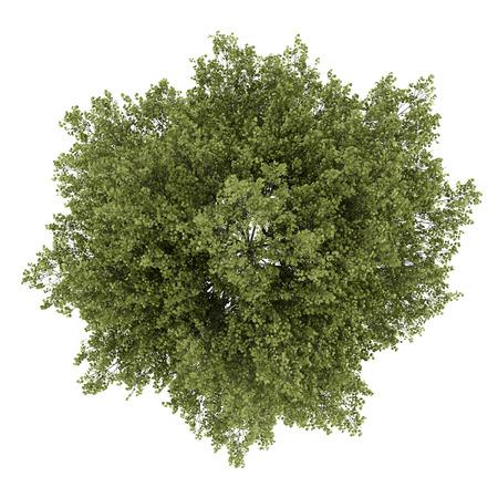 beyaz zemin üzerine izole kavak ağacının top view