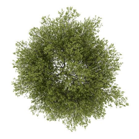 ポプラの木の白い背景で隔離のトップ ビュー