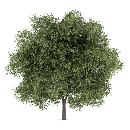 english oak: english oak tree isolated on white background
