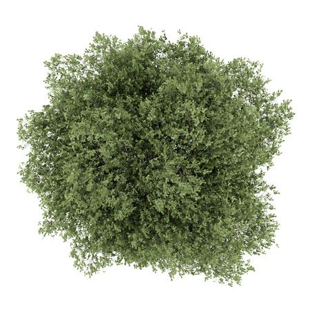 白い背景で隔離された英語オークの木の上から見る