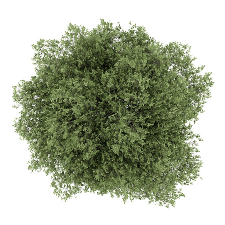 english oak: top view of english oak tree isolated on white background