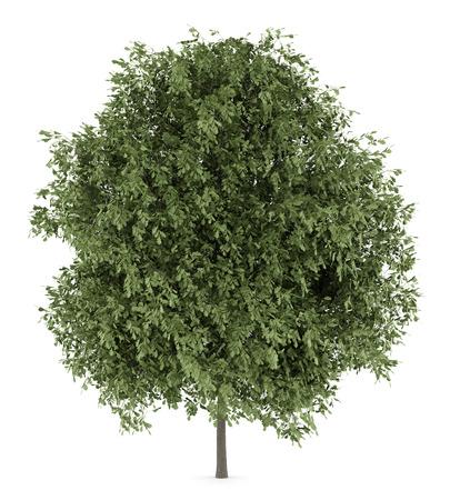 english oak: english oak tree isolated on white background