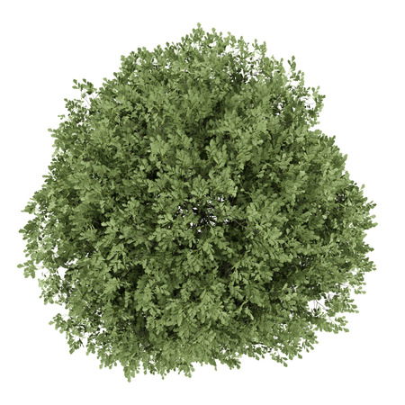cutout: top view of english oak tree isolated on white background