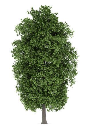 aesculus hippocastanum: horse chestnut tree isolated on white background