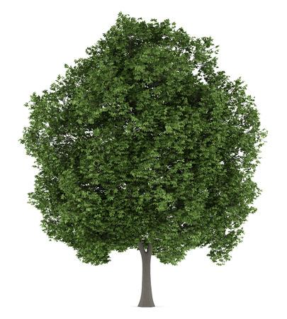 castaÑas: árbol de castaño de indias aisladas sobre fondo blanco Foto de archivo