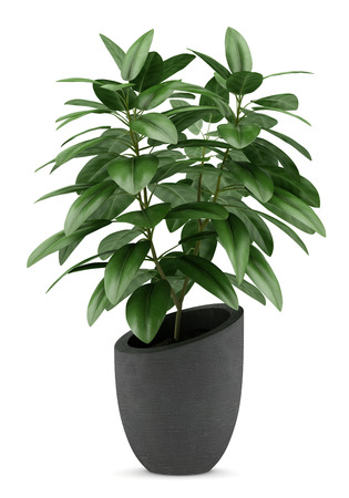 Potted plants: houseplant in black pot isolated on white background Stock Photo