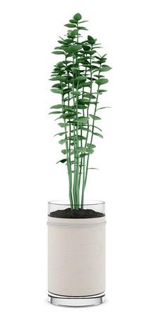 oregano plant: oregano plant in pot isolated on white background Stock Photo