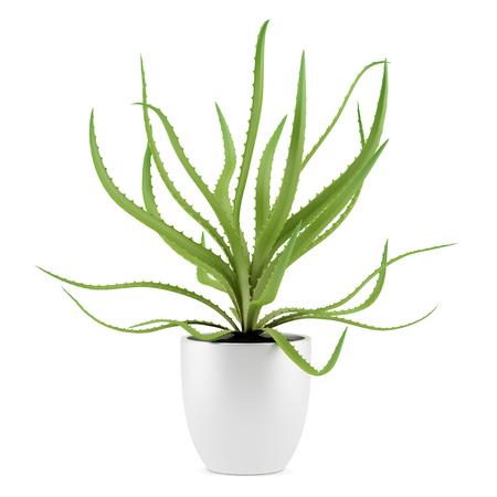 aloe vera background: aloe plant in pot isolated on white background