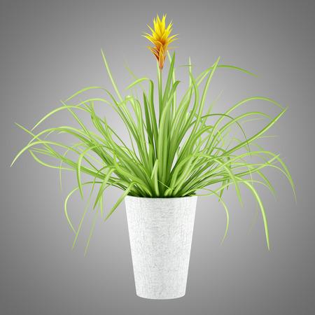 guzmania: guzmania plant in pot isolated on gray background