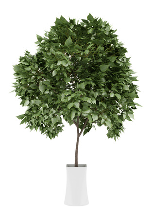 potted tree isolated on white background