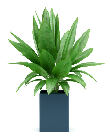 isolated  on white: houseplant in pot isolated on white background