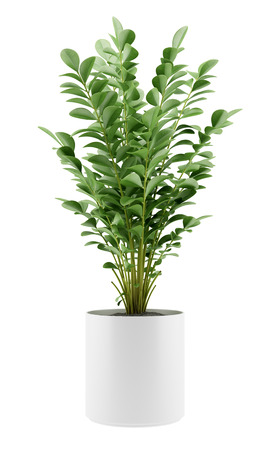 houseplant: houseplant in pot isolated on white background