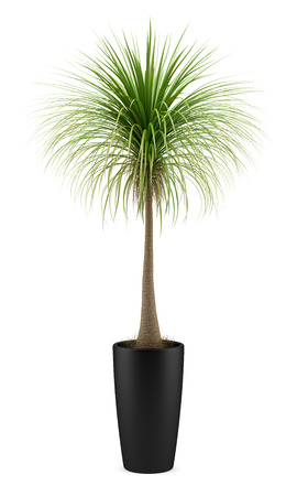 potted palm tree isolated on white background photo