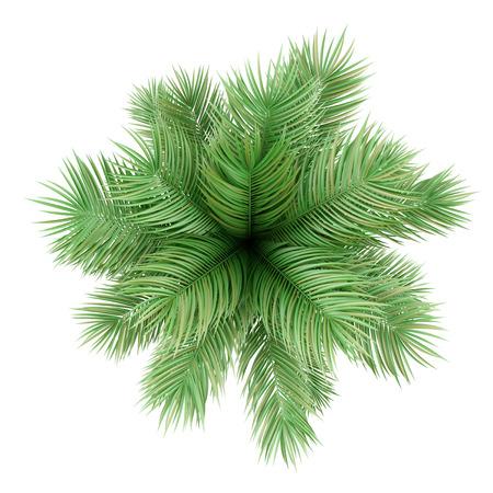 arbre vue dessus: vue de dessus de palmier en pot isolé sur fond blanc