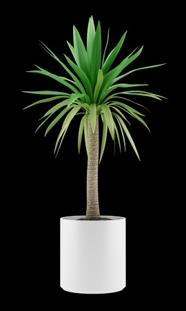 potted palm tree isolated on black background photo