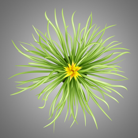 guzmania: top view of guzmania plant in pot isolated on gray background