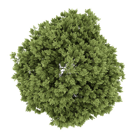 top view of hackberry tree isolated on white background