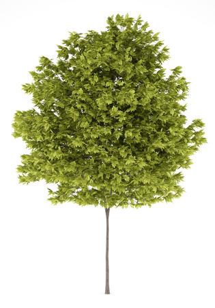 langosta: árbol acacia aislado en fondo blanco Foto de archivo