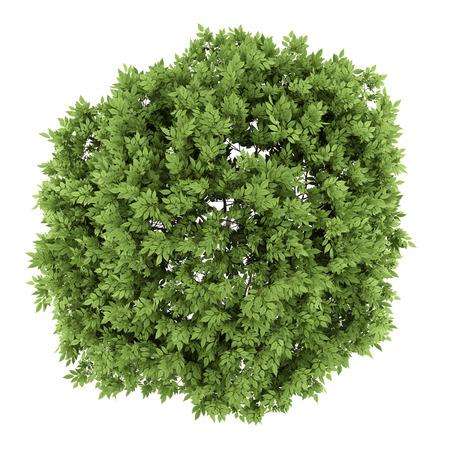 Draufsicht auf Holunderbaum isoliert auf weißem Hintergrund Standard-Bild - 36262411