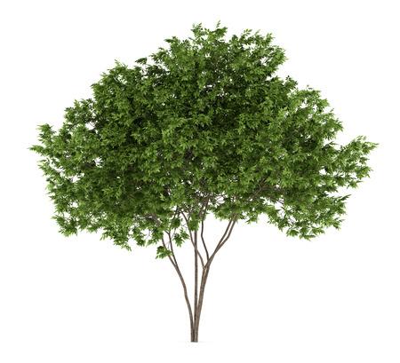 elderberry tree isolated on white background