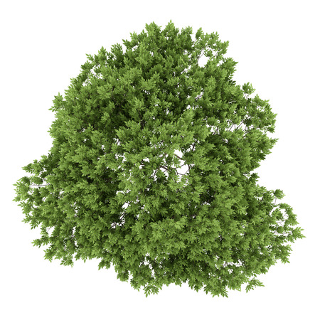 top view of elderberry tree isolated on white background