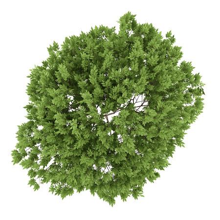白い背景で隔離ニワトコの木の上から見る
