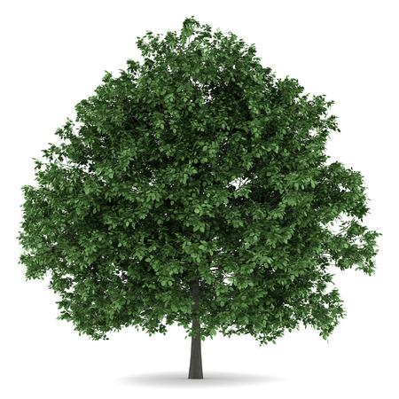 hornbeam: common hornbeam tree isolated on white background