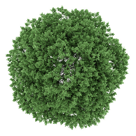 hornbeam: top view of common hornbeam tree isolated on white background Stock Photo