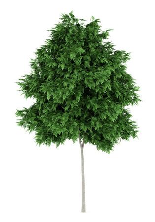 rowan tree: rowan tree isolated on white background
