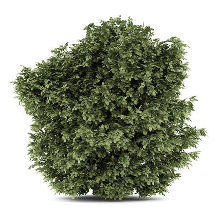 albero nocciola: nocciolo comune isolato su sfondo bianco