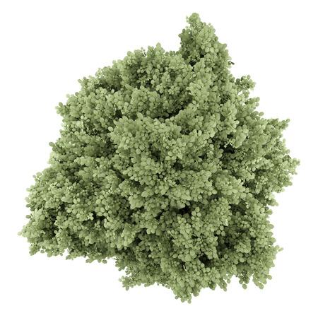 hazel tree: top view of common hazel tree isolated on white background Stock Photo